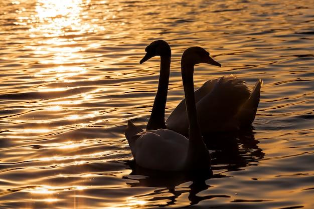 Een paar zwanen zwemmen bij zonsondergang, twee zwanen in de lente van het jaar in de gouden stralen tijdens zonsondergang, lente op het meer met een paar zwanen