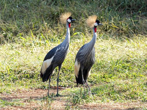 Een paar zwart gekroonde kraanvogels