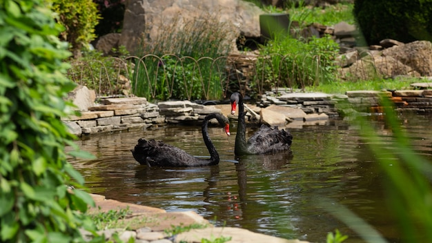 Een paar zwarte zwanen zwemmen in het meer