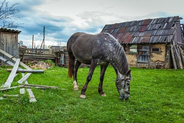 Een paard graast aangelijnd op een weide in de buurt van het huis. een grijs paard is geketend aan een ketting