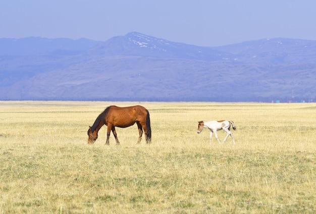 Een paard in het altai-gebergte een rode merrie met een veulen tussen het droge gras in de kurai-steppe