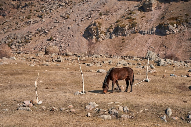 Een paard zonder team loopt in een weiland aan de voet van de met sneeuw bedekte bergen. het vroege voorjaar graast het paard in de bergen.