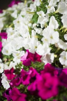 Een paars bloeiende plant genaamd afrikaanse madeliefjes