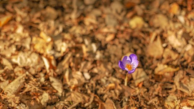 Een paarse krokusbloem tussen de gele herfstbladeren, van bovenaf gezien