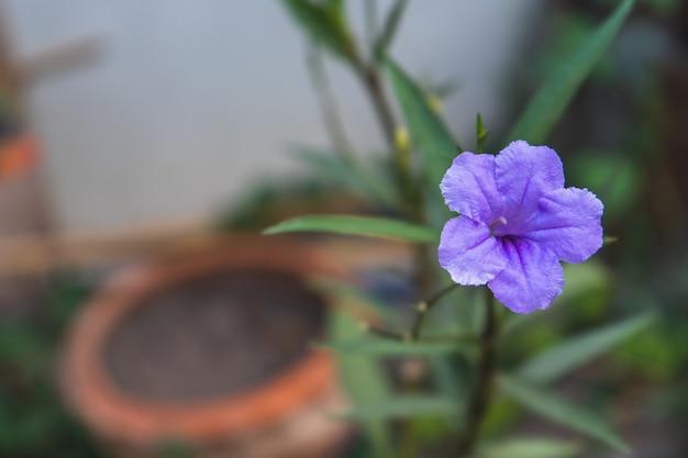 Een paarse ruellia squarrosa of wilde petunia's