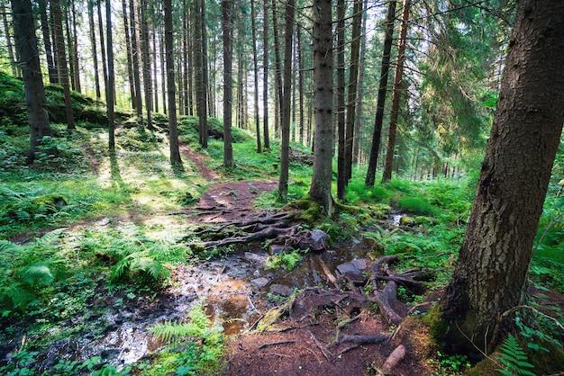 Een pad en een stroom in een sparrenbos