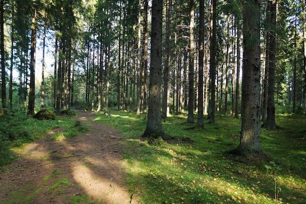 Een pad in het sparrenbos in de vroege zomerochtend, groen mos en stammen van hoge bomen