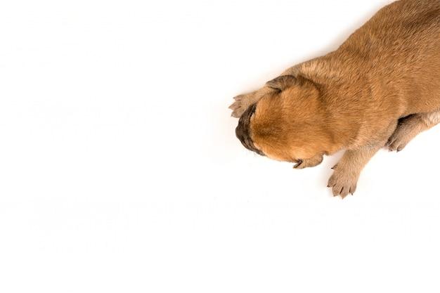 Een pasgeboren puppy op witte achtergrond bovenaanzicht