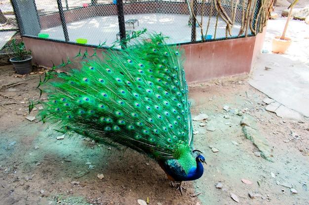 Een pauw met een groene staart en een blauw lichaam loopt in een kooi die zijn staart laat zien.