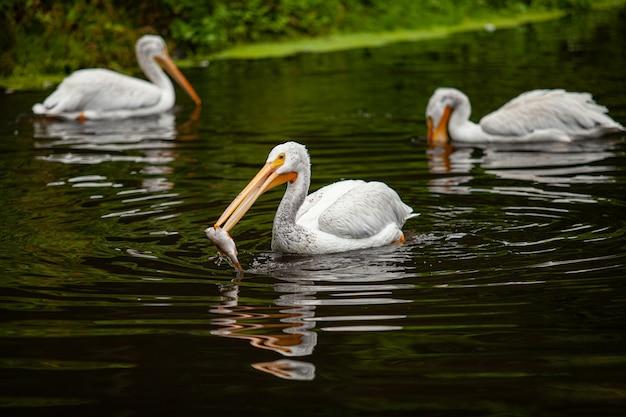 Een pelikaan probeert vis te vangen in een vijver.