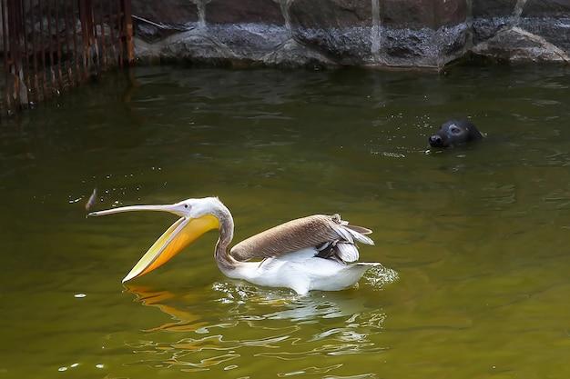 Een pelikaan vangt vis en een zeekat kijkt naar hem. klaipeda litouws.