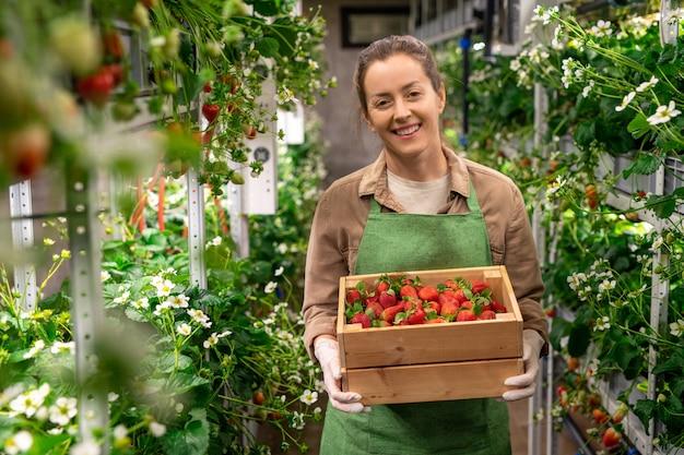 Een persoon die een doos rode rijpe aardbeien vasthoudt in een verticale boerderij