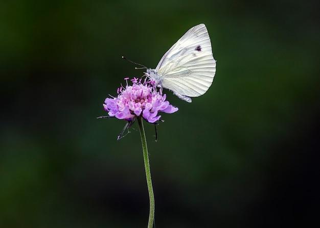 Een pieris rapae, een nachtvlinder die behoort tot de familie pieridae.