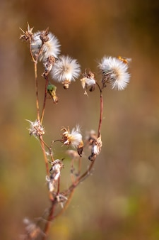 Een plant die lijkt op veel paardebloemen op één stengel met selectieve focus en een onscherpe achtergrond. warme toonkleuren. verticaal.