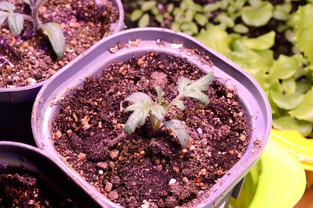 Een plant die thuis in een kleine pot wordt gekweekt met behulp van een phytolamp-lamp. detailopname