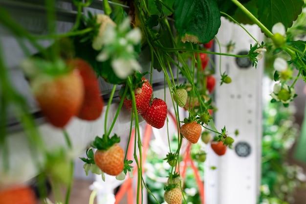 Een plant met rode en groene aardbeien erop groeit in verticale boerderij
