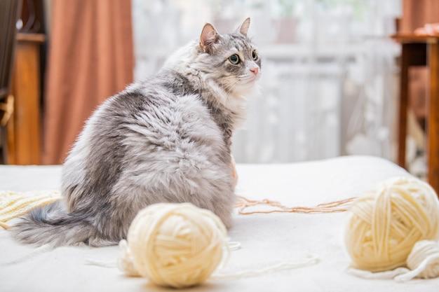 Een pluizige dikke grijze kat speelt met bolletjes garen, verwarde draden, zit met zijn rug tussen de strengen, draait zich schuldbewust naar de gastvrouw