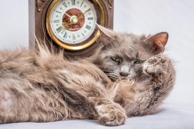 Een pluizige luie kat ligt bij de klok. het is tijd om op te staan en aan het werk te gaan