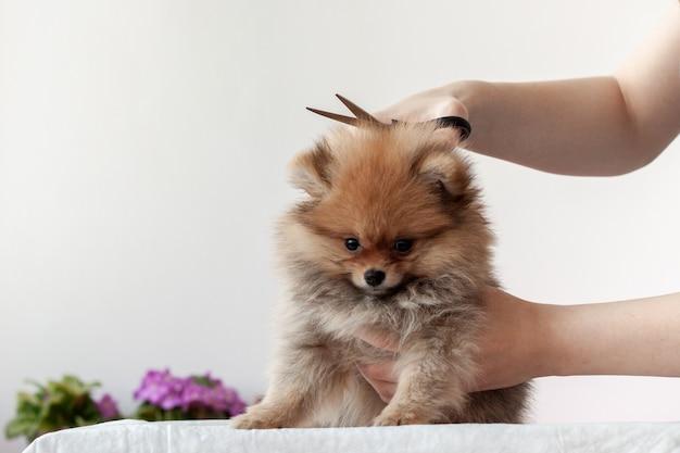 Een pluizige sable pomeranian-puppy wordt met een schaar geknipt door een grutter, de puppy wordt naar voren gedraaid.