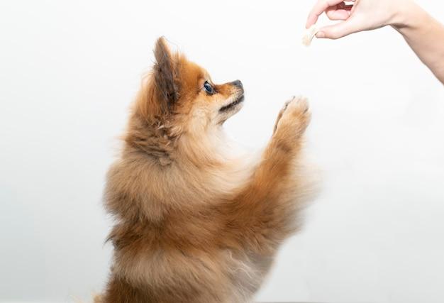 Een pommeren hond op zijn twee benen probeert zijn eten te vangen