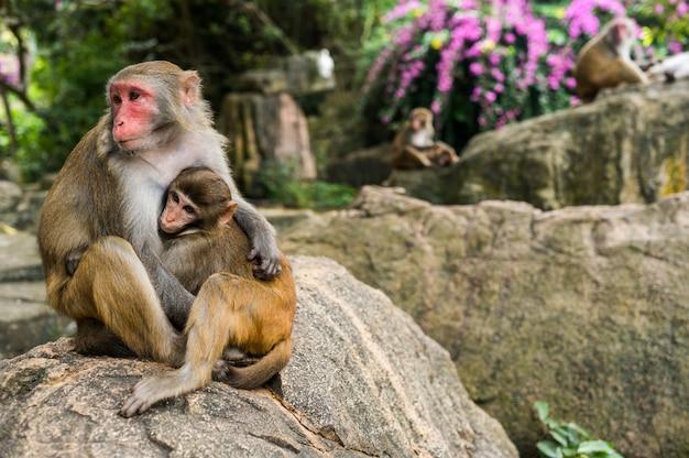 Een portret van de resusaap macaque moeder aap voeden en beschermt haar schattige baby kind in tropische natuur bos park van hainan, china. wildlife scène met gevaar dier. macaca mulatta.