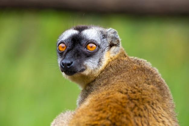 Een portret van een bruine maki, een close up van een grappige maki