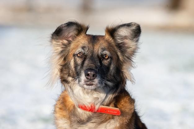 Een portret van een grote zwerfhond van gemengd ras herdershond taras af aan de zijkant tegen een winter witte achtergrond