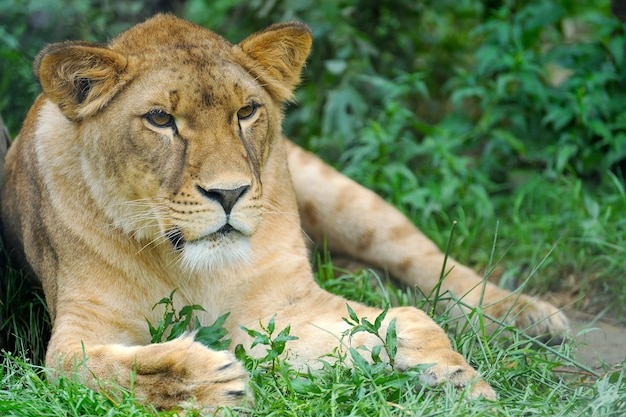 Een portret van een leeuwin die op gras ontspant
