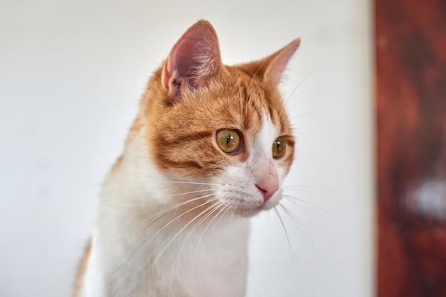 Een portret van een schattige witte en gemberkat