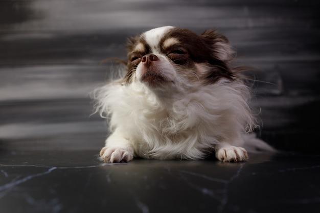 Een portret van langharige chihuahuahond dat op zwarte achtergrond wordt geïsoleerd