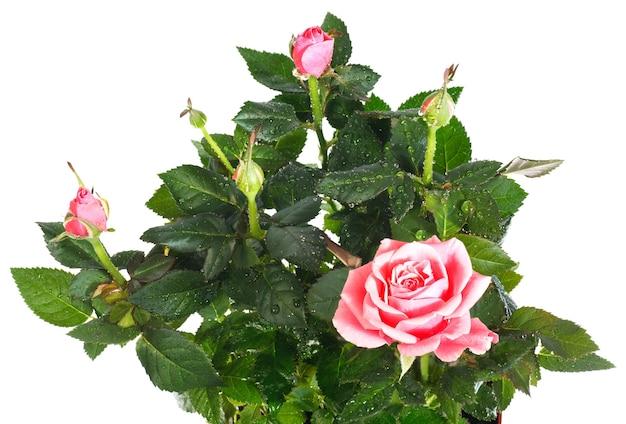 Een pot met prachtige roze bloemen geïsoleerd op wit