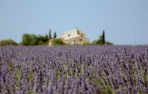 Een prachtig lavendelveld