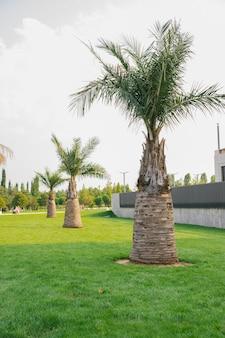 Een prachtig openbaar park. hoge weelderige palmbomen. een groen, goed verzorgd gazon.