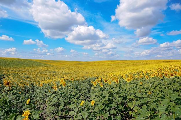 Een prachtig veld met zonnebloemen. helder gele bloeiende weide zonnebloemen tegen een blauwe hemel met wolken. zonnig zomerlandschap. natuurlijk oppervlak.
