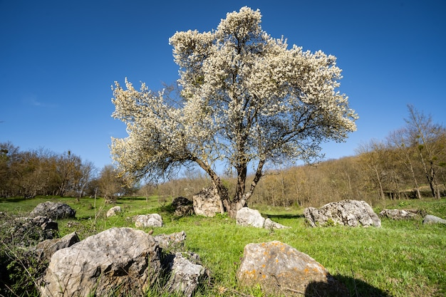 Een prachtige bloeiende appelboom in een groene weide tussen stenen en gras een aanhoudende geur van lente...