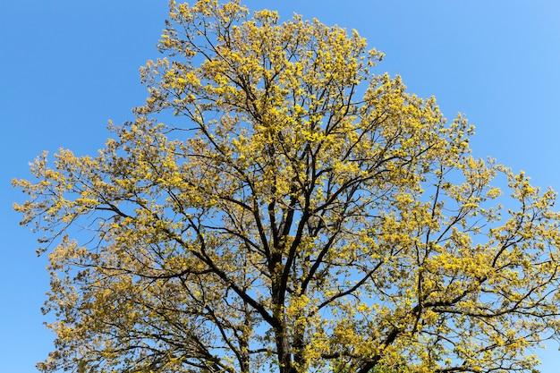 Een prachtige bloeiende esdoorn in de lente, een blauwe lucht en zonnig helder weer