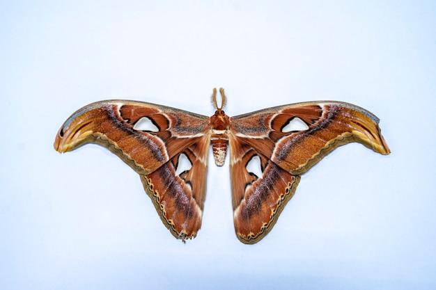 Een prachtige bruine tiger vlinder