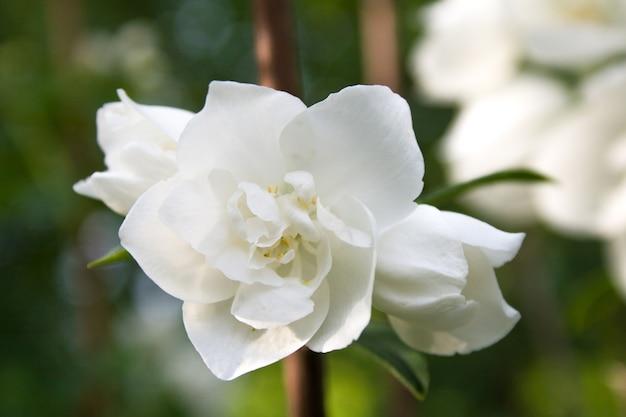 Een prachtige jasmijnbloem met knoppen tegen het oppervlak van een groene struik