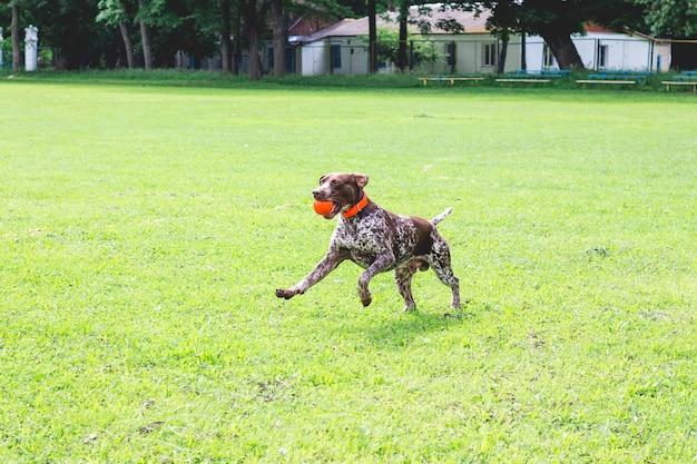 Een prachtige jonge hond van het ras duitse kortharige wijzer die op het gras met een bal in zijn tanden loopt