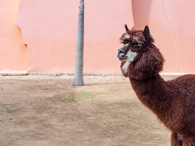 Een prachtige lama in de dierentuin