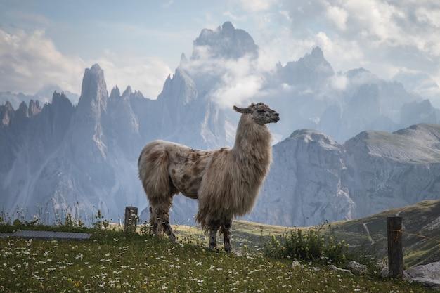 Een prachtige lama met bergen op de achtergrond