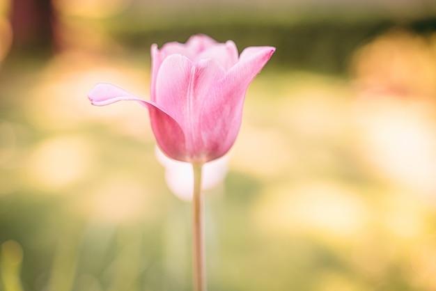 Een prachtige roze tulpenbloem
