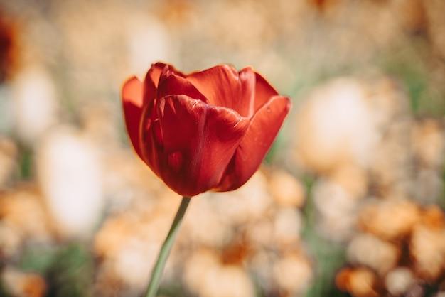 Een prachtige tulp in volle bloei
