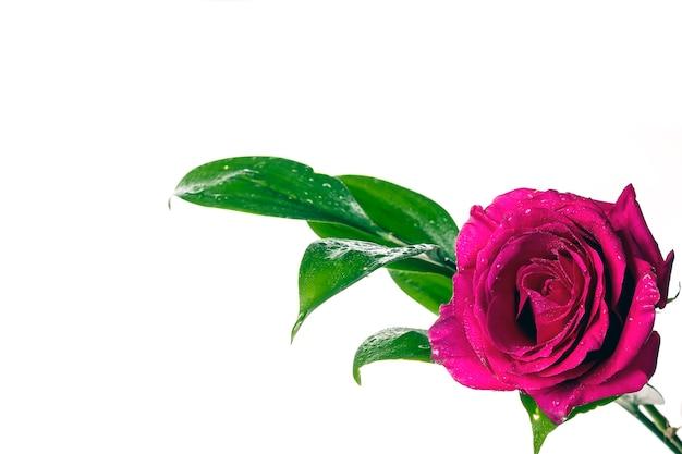 Een prachtige verse rode roos en een groen takje met waterdruppels op een witte achtergrond.