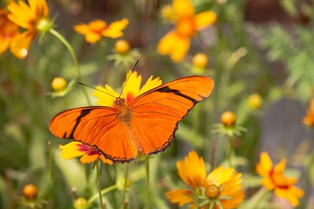 Een prachtige vlinder die 's ochtends nectar van gele bloemen opzuigt.