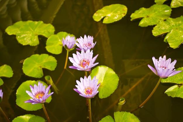 Een prachtige waterlelie of lotusbloem