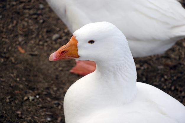 Een prachtige witte gans van dichtbij en in profiel gevangen. oranje snavel.