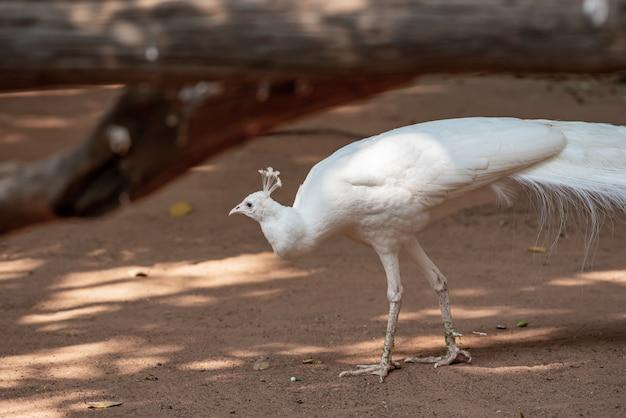 Een prachtige witte pauw