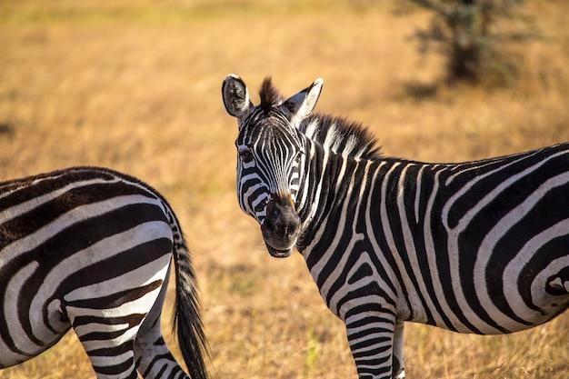 Een prachtige zebra in het masai mara nationaal park, dieren in het wild in de savanne. kenia