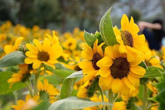 Een prachtige zonnebloemen natuurlijke achtergrond, zonnebloem bloeien in het veld.